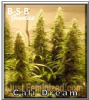 B-S-B Genetics Cali Dream Female 5 Seeds